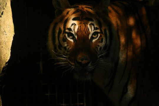Les 100 plus belles photos animalières de l'année Tigre-11