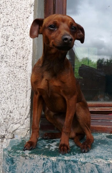 Adoption Tomy, pinscher de 9 mois (59) P1190314