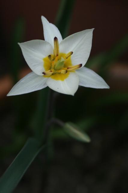 tulipe ? = Tulipa turkestanica Img_4922