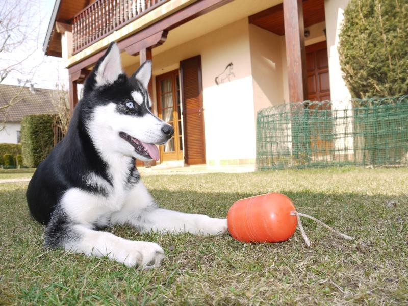 Petite chienne de 4 mois 1/2 ayant Probl de souffle :avis?? P1020211
