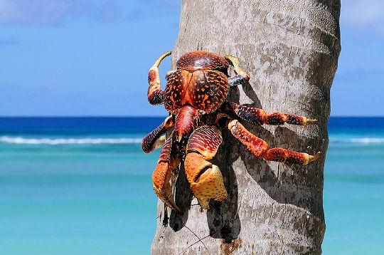 Crabe géant des cocotiers, assez impressionnant. - Page 2 Crabe110