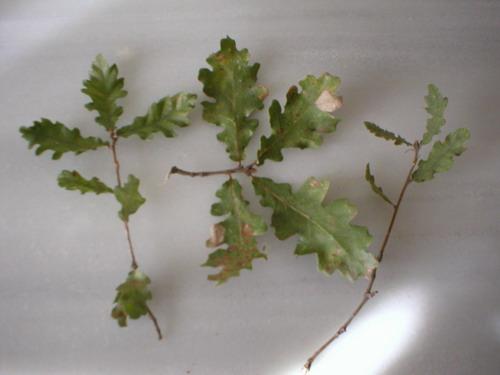 un autre Quercus (pubescens ?) Feuill10