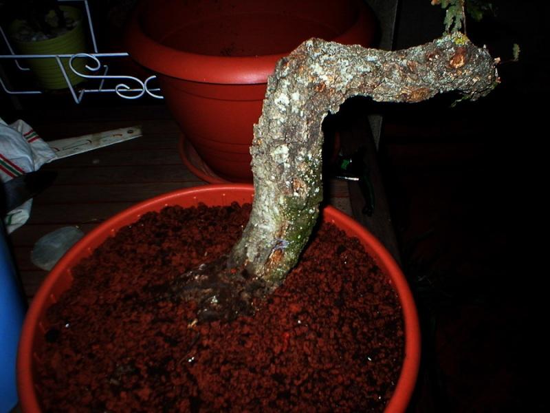 un autre Quercus (pubescens ?) P1010010