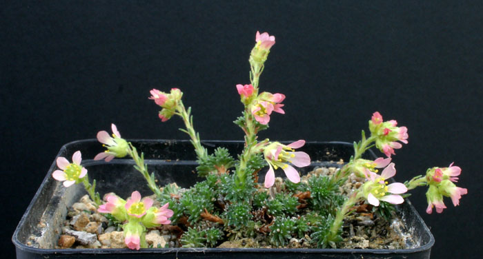 Saxifrages.... le retour. - Page 2 Img_4025
