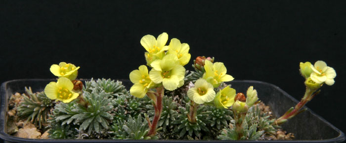 Saxifrages.... le retour. - Page 2 Img_4510
