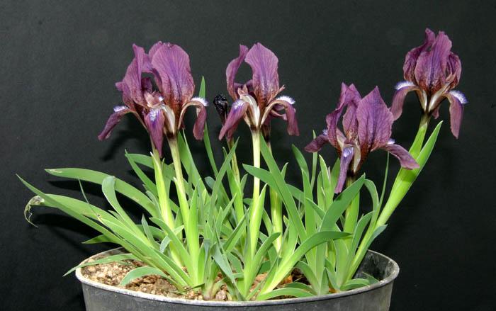 Le 1er iris barbu en fleur Img_4514