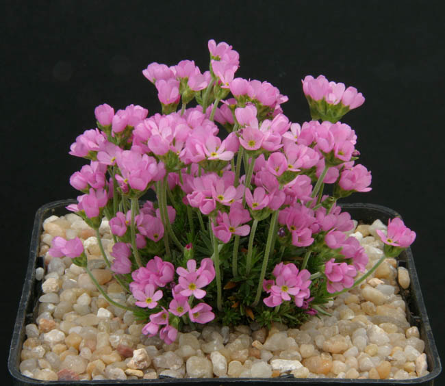 quelques androsaces en fleurs!! Img_4618