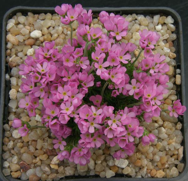 quelques androsaces en fleurs!! Img_4619