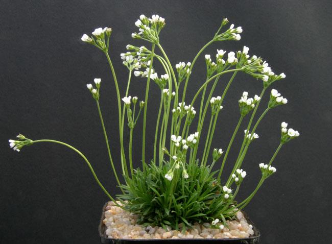 quelques androsaces en fleurs!! Img_4717