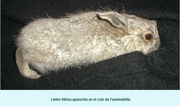 LIEBRE ALBINA Albina10