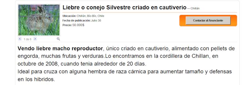 VENTA DE MACHO DE LIEBRE CRIADO EN CAUTIVERIO - CHILLAN Liebre10