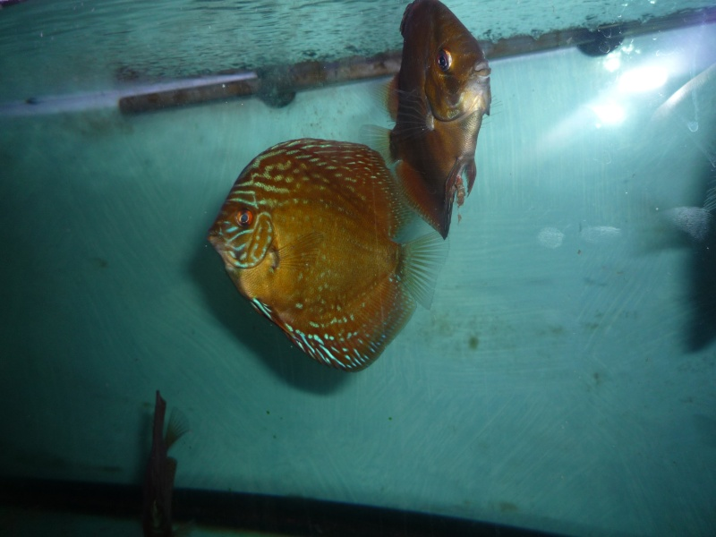 Evolution discus Choupe11