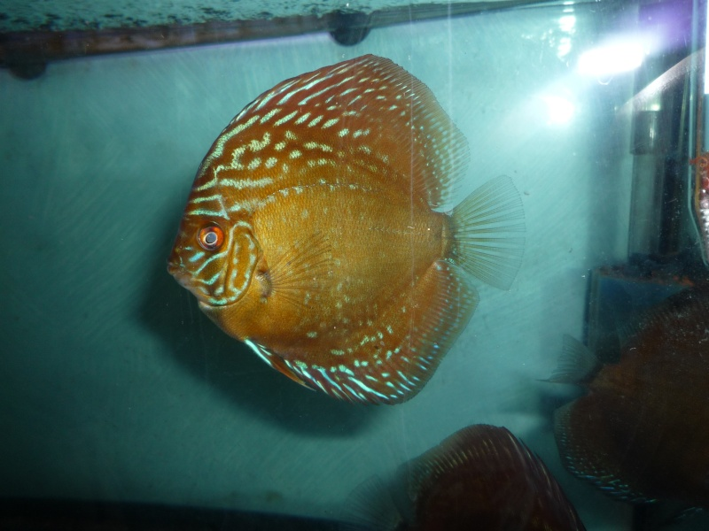Evolution discus Choupe13