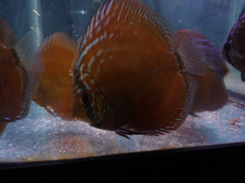 Evolution discus Choupe17
