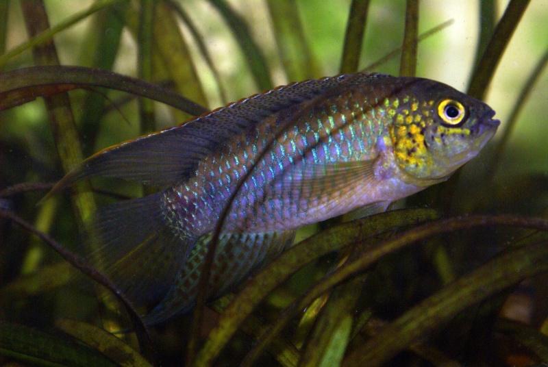 Nannacara aureocephalus Dsc00110