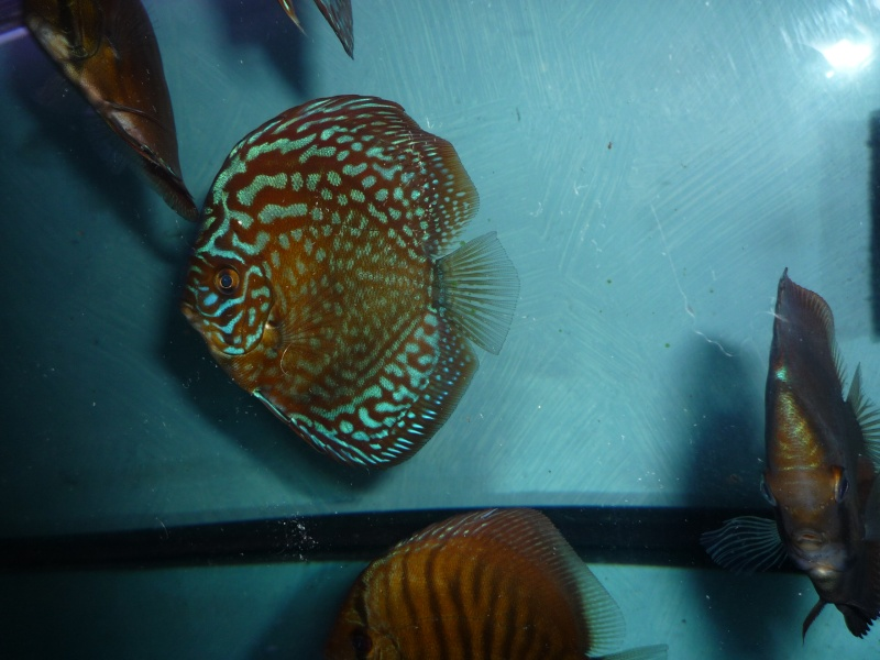 Evolution discus Phong_11