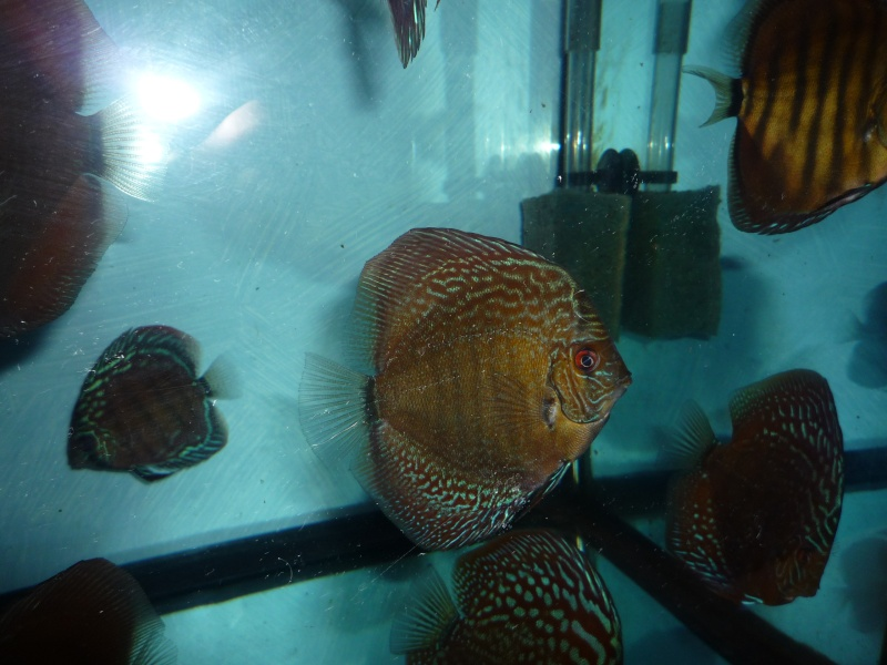Evolution discus Phong_12