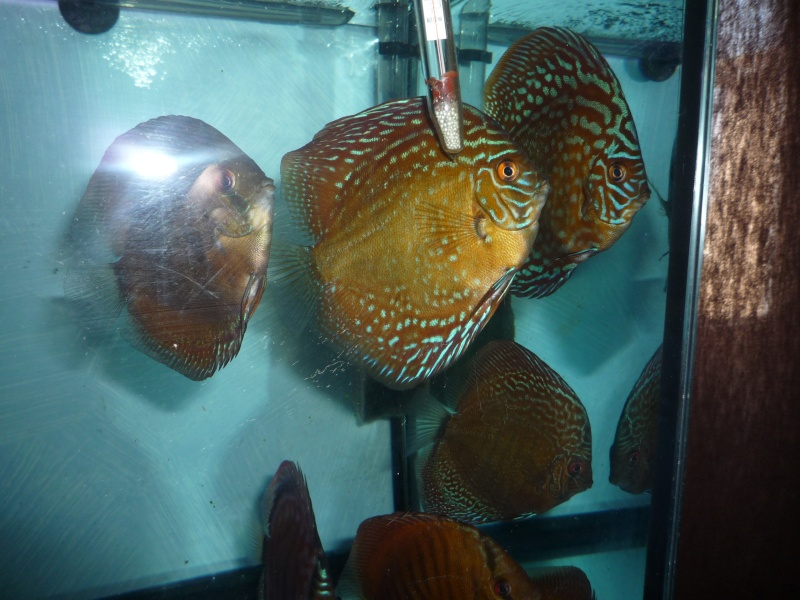 Evolution discus Phong_16