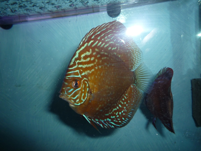 Evolution discus Phong_17