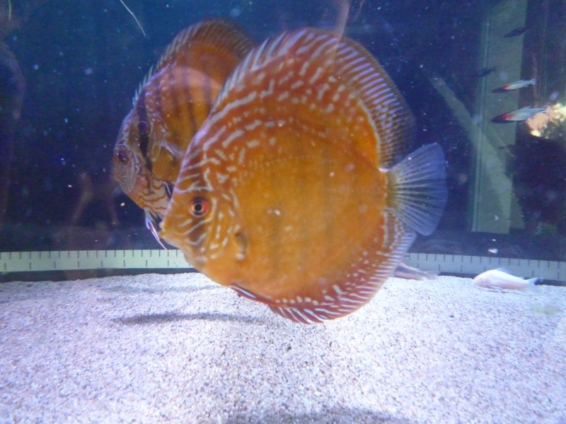 Evolution discus Phong_33