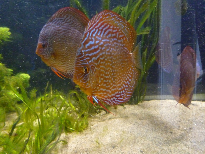 Evolution discus Phong_62