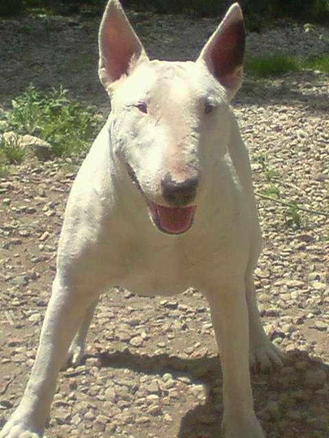 ilex - a venir des bebe bull de siana et despue des terres d' ilex P0307010