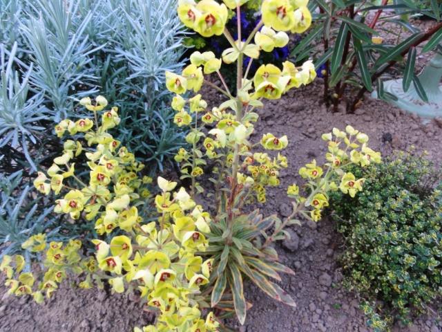 Euphorbia griffithii Dsc01618