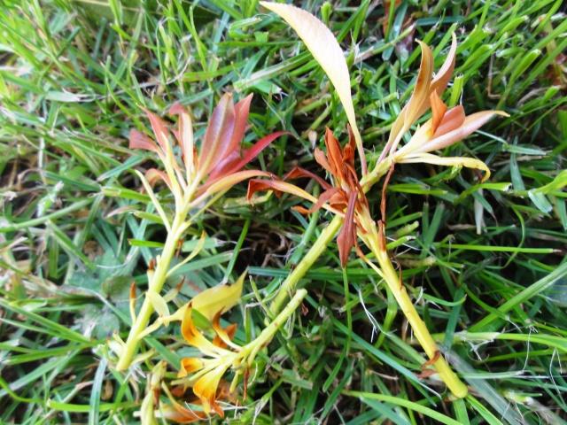 Pieris japonica 'Flaming Silver' Dsc01714
