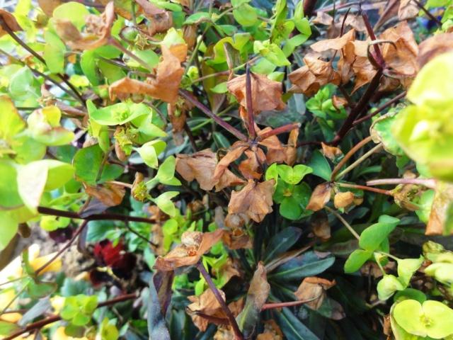 Euphorbia amygdaloides Dsc01717