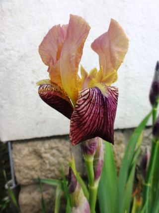 Floraisons de nos Iris barbus 2013 - Page 6 Dsc01813