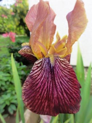 Floraisons de nos Iris barbus 2013 - Page 6 Dsc01815