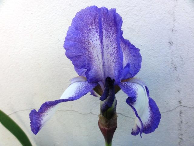 Floraisons de nos Iris barbus 2013 - Page 7 Dsc01821