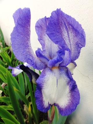 Floraisons de nos Iris barbus 2013 - Page 7 Dsc01822