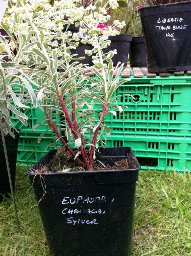 Euphorbia characias Photo_10