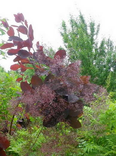 Cotinus coggygria !!! - Page 2 09062028