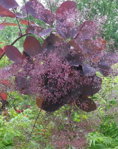 Cotinus coggygria !!! - Page 2 09062030