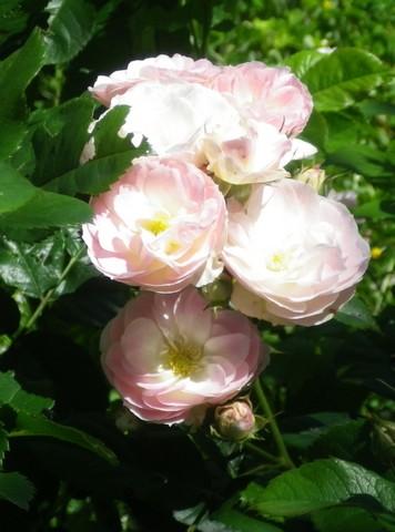 Rosa 'Bouquet Parfait' !!! - Page 3 12062021
