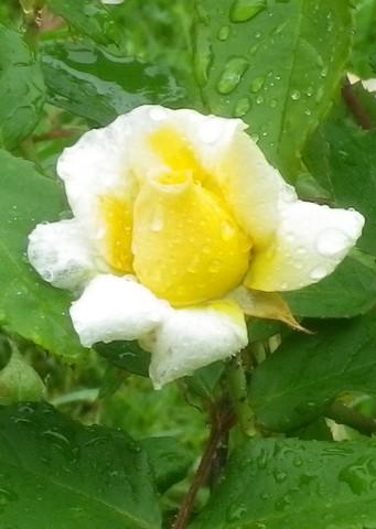 Rosa 'Buff Beauty' !!! - Page 2 13062031