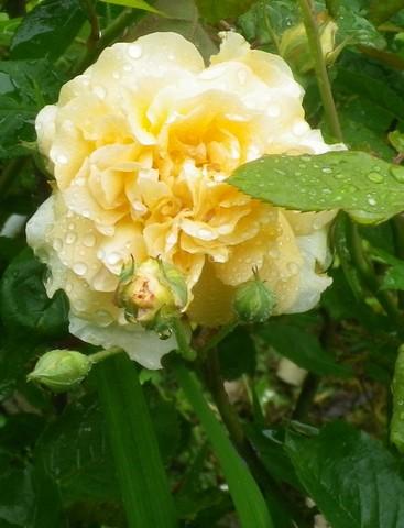 Rosa 'Buff Beauty' !!! - Page 2 13062032