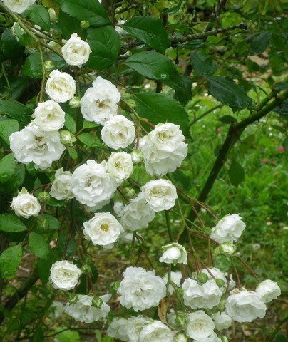 Rosa 'Little White Pet' !!! - Page 2 13062044