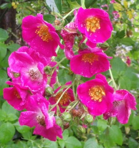 Rosa 'American Pillar' !!! - Page 2 13062046