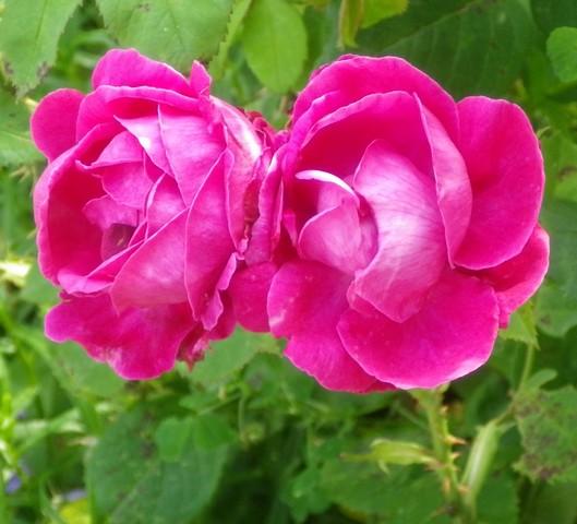 Rosa 'St-Médard' !!! - Page 2 14062026