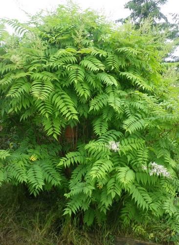 Sorbaria sorbifolia !!! 14062035