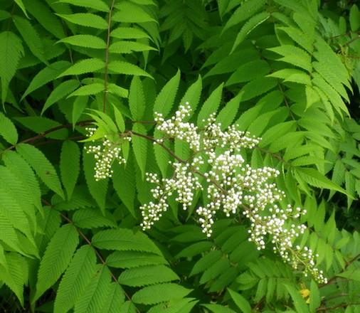 Sorbaria sorbifolia !!! 14062036
