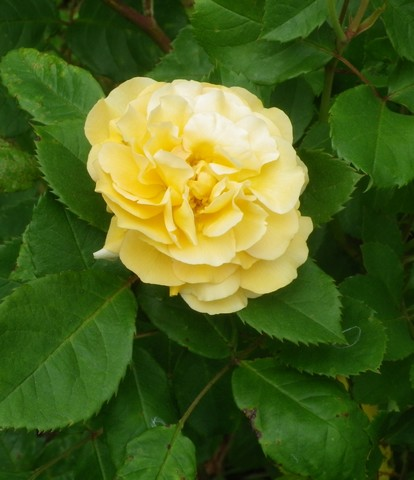 Rosa 'Buff Beauty' !!! - Page 3 17062013