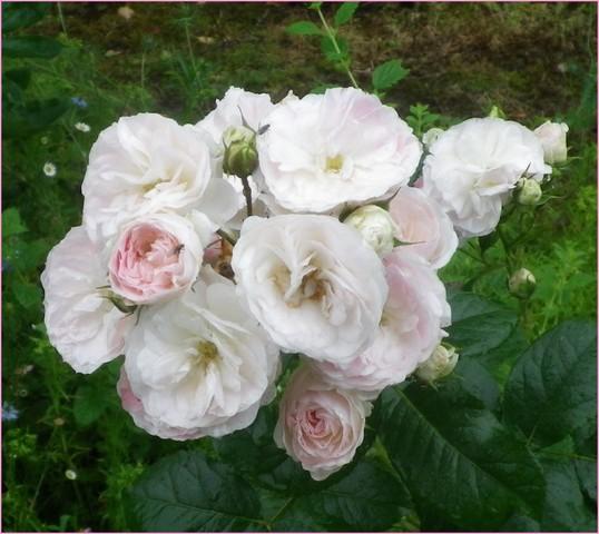 Rosa 'Bouquet Parfait' !!! - Page 3 18062023