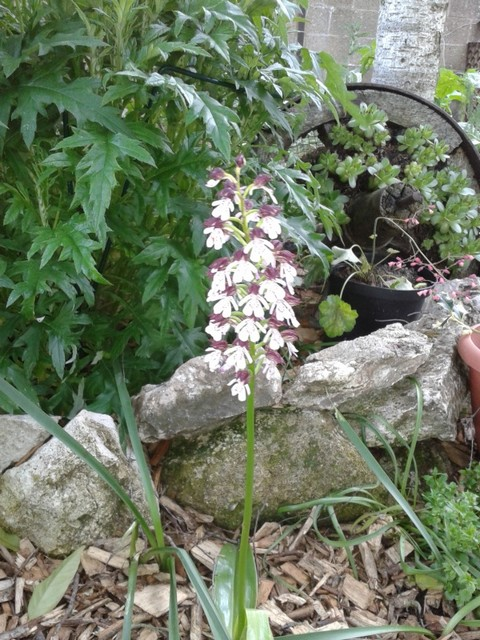 Qui est cette belle inconnue ?? // Orchis purpurea 2013-011