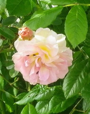 Rosa 'Ghislaine de Féligonde !!! 26042017