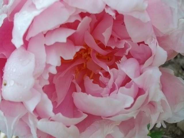 32 - La couleur rose !!! Juin_210