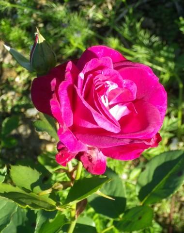 Rosa 'Violette Parfumée !!! - Page 2 Sonya_10